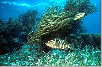 Nassaun Grouper in shallow reefs off of English Caye